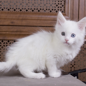 отенок мейн кун Dream Catcher из питомника Estate Pearls. фото в возрасте 1,1 месяц, окрас белый
