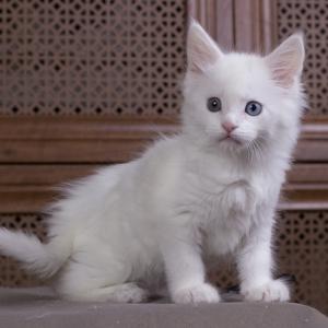 белый котенок мейн кун Dream Catcher из питомника Estate Pearls. фото в возрасте 1,1 месяц
