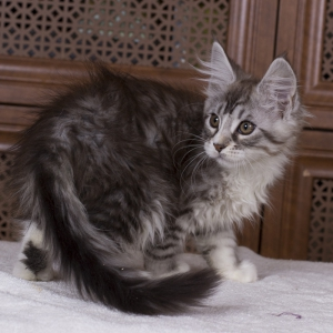 котенок мейн кун Acapella Estate Pearls окрас серебро с белым фото в возрасте 3 месяца