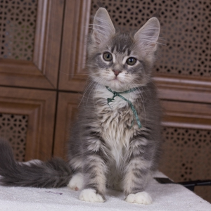 котенок мейн кун Aventura из питомника Estate Pearls. фото в возрасте 3 месяца, окрас - a 09 22