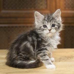 кошка мейн кун Aventura Estate Pearls. фото в возрасте 1,2 месяца, окрас ns 09 22