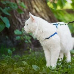 фото1 белый кот мейн кун Columbus, 3 года