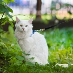 фото2 белый кот мейн кун Columbus, 3 года