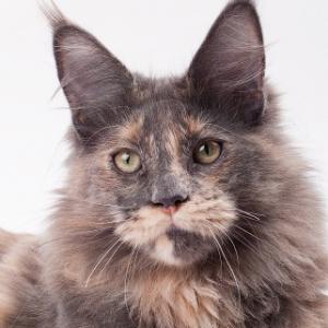 голубокремовая кошка мейн кун Dolli 6 месяцев