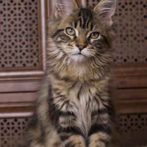 котенок мейн кун Evita из питомника Estate Pearls окрас черный мраморный