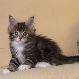 котенок мейн кун Fergus из питомника Estate Pearls