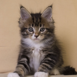котенок мейн кун Fergus Estate Pearls. фото в возрасте 1,5 месяца