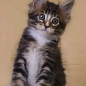 котенок мейн кун Firenze Estate Pearls. окрас черный мраморный с белым