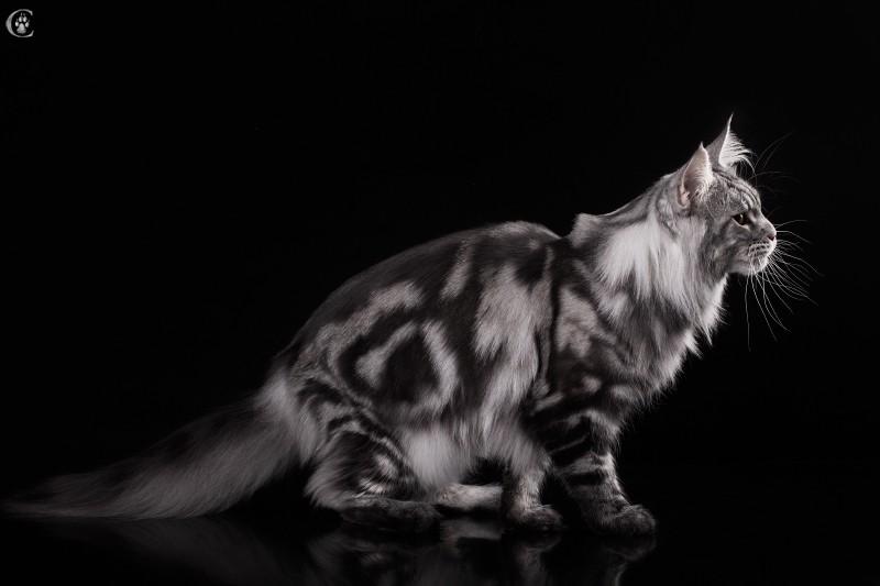 мейн кун Fireworks Estate PearlS Окрас черный серебристый мраморный (ns 22), 2,5 года кот