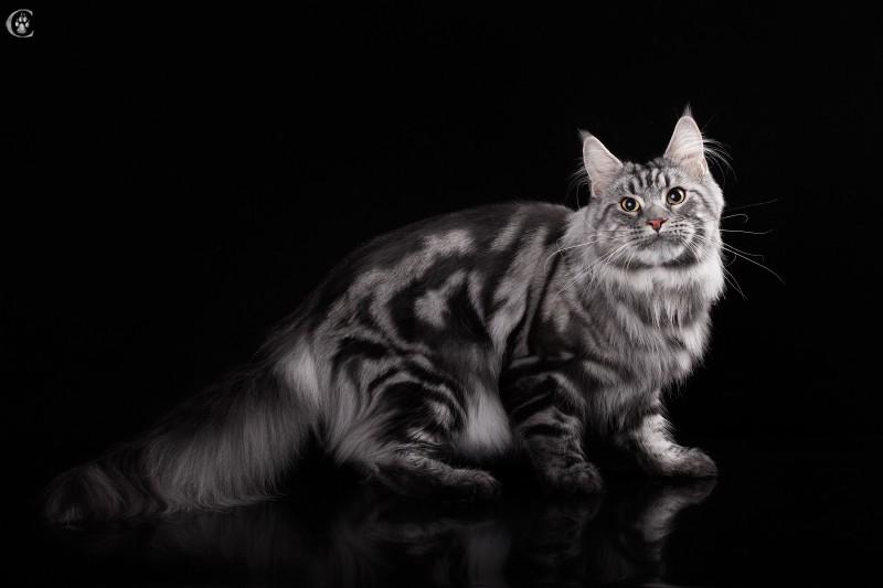 кот мейн кун Fireworks EstatePearlS Окрас черный серебристый мраморный (ns 22), 2,5 года