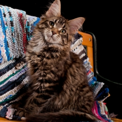 кошка мейн кун Ginger joy
