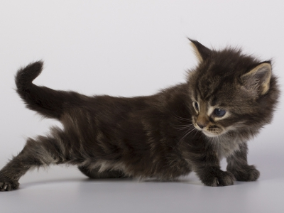 котенок мейн кун Halldor из питомника Estate Pearls*RU фото в 3 недели, окрас n 22
