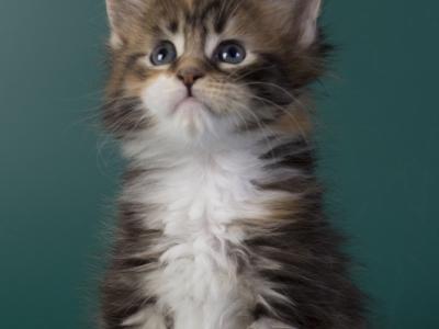котенок мейн кун Inari из питомника Estate Pearls*RU. фото3 в возрасте 4 недели, окрас f 09 22