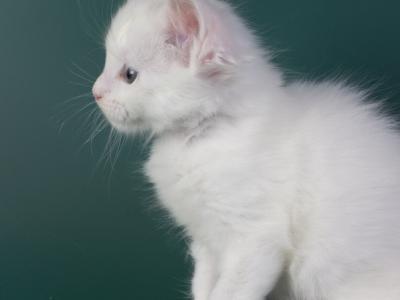 белый котенок мейн кун Iney из питомника Estate Pearls*RU фото в возрасте 4 недели, крупный мальчи