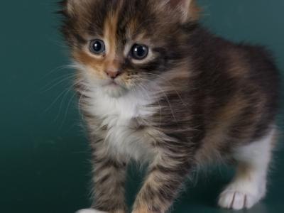котенок мейн кун Idée fixe Pearls*RU. фото в возрасте 4 недели. окрас f 09 23