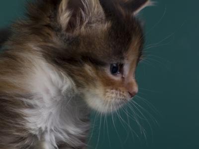 котенок мейн кун Idée fixe из питомника Estate Pearls*RU. фото в 4 недели, окрас f 09 23