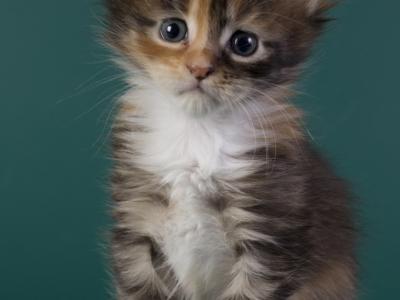 котенок мейн кун Idée fixe Pearls*RU. фото в 4 недели. окрас f 09 23
