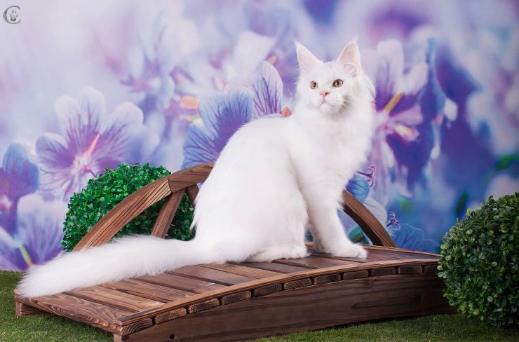кошка мейн кун J'Adore из питомника Estate PearlS*RU, белого цвета