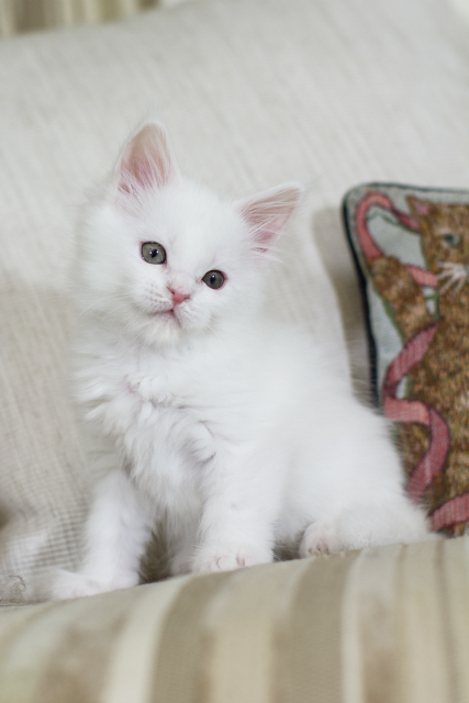 J'adore белая кошка мейн кун, 7 недель
