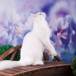 кошка мейн кун J'Adore Estate PearlS*RU, 1 год белого окраса