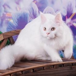 кошка мейн кун J'Adore из питомника Estate PearlS*RU, окрас белый