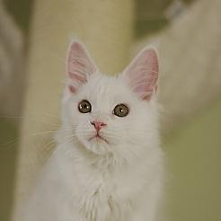 J'adore белая кошка мейн кун 3 месяца