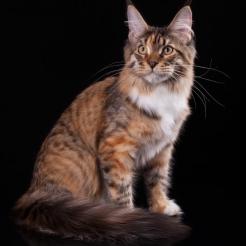 кошка мейн кун  Marseillaise Estate PearlS, окрас f 09 24