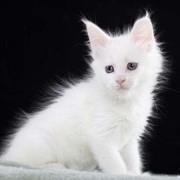 белая кошка мейн кун Pepita