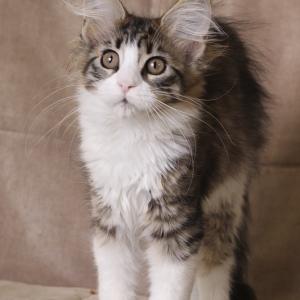 фото котенка мейн кун Quiteira Estate Pearls в возрасте 3 месяца, окрас n 09 24 черный пятнистый с белым