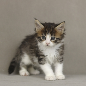 фото котенка мейн кун Quiteira Estate Pearls в возрасте 1 месяц, окрас n 09 24