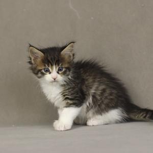 фото котенка мейн кун Quiteira Estate Pearls в возрасте 1 месяц, окрас n 09 24 черный пятнистый с белым