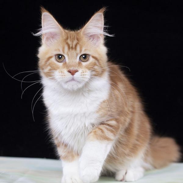 котенок мейн кун девочка Raine Estate Pealrs  красный с белым