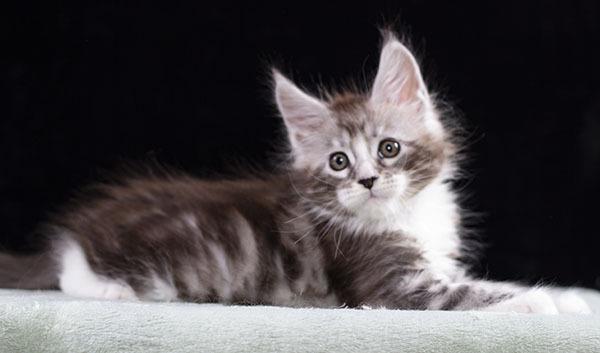 серебряный котенок мейн кун ROCK-N-ROLL Estate Pearls