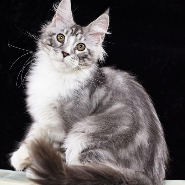 серебряный с белым котенок мейн кун ROCK-N-ROLL Estate Pearls