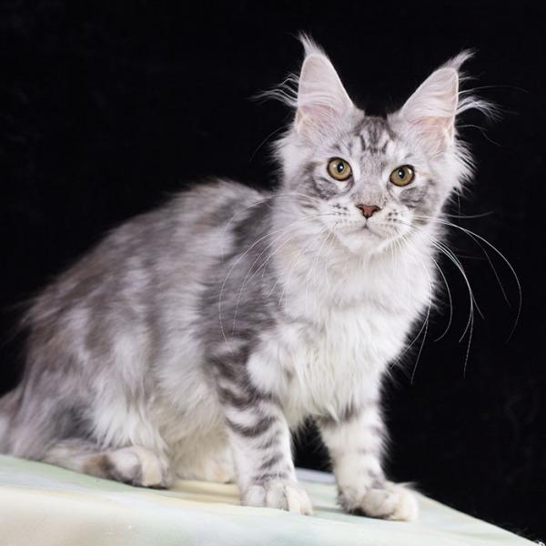 котенок мейн кун Romania