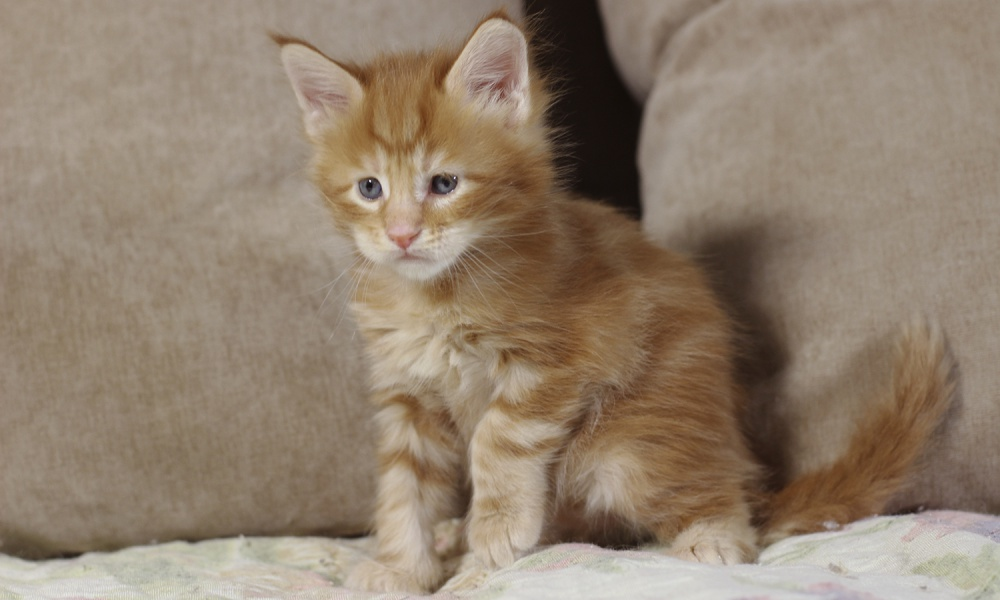 котенок мейн кун Roy Estate Pearls. возраст 1 месяц, окрас красный мраморный (d 22)