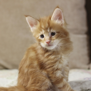 фото котенка  мейн кун Roy Estate Pearls.окрас красный мраморный (d 22), возраст 1 месяц,