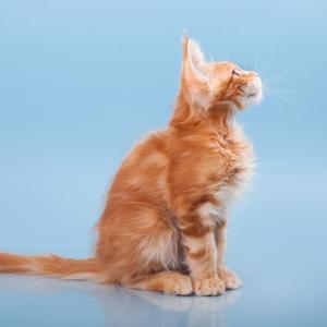 фото котенка  мейн кун Roy Estate Pearls.окрас красный мраморный (d 22), возраст 3,5 месяца,