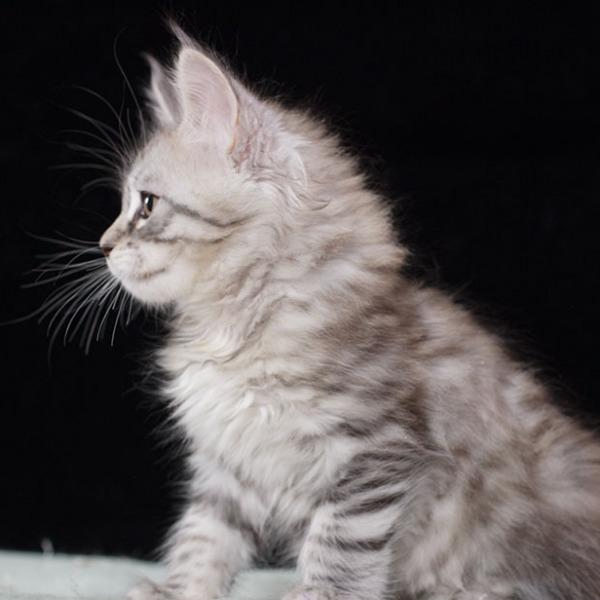 котенок мейн кун TENGEL Estate Pearl серебряный  2 месяца