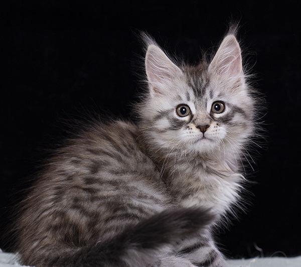 котенок мейн кун TENGEL Estate Pearl серебряный  2,5 месяца ns12