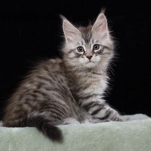 котенок мейн кун TENGEL из питомника Estate Pearl серебряный  2,5 месяца ns12