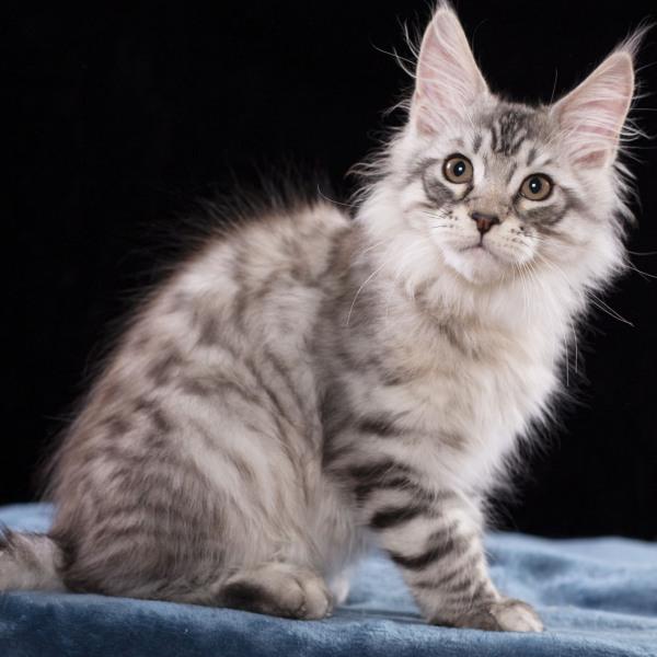 котенок мейн кун TENGEL из питомника Estate Pearl серебряный  3 месяца ns12