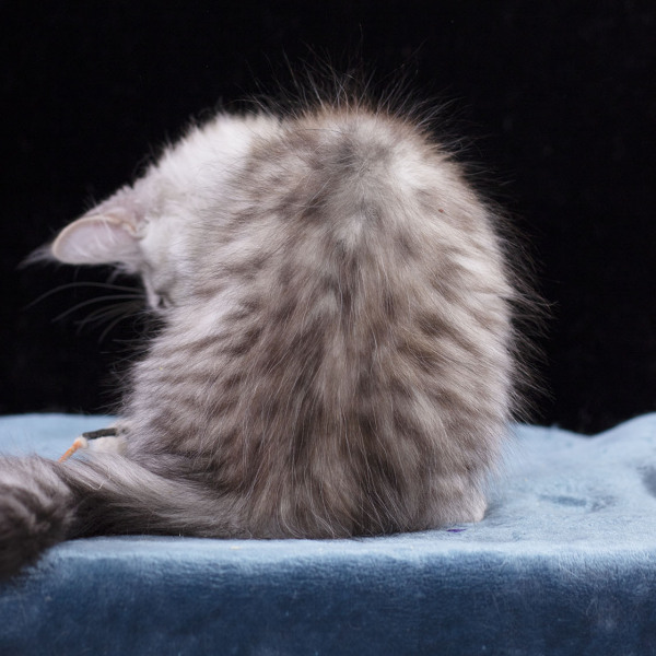 котенок мейн кун TENGEL Estate Pearl серебряный  3 месяца ns12