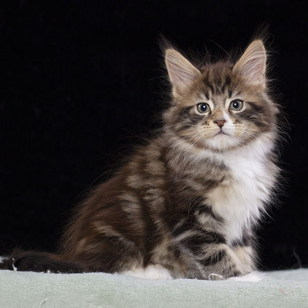 kitten maine coon THORIN Estate Pearls