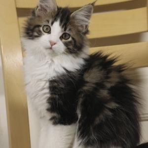 котенок мейн кун Tom Sawyer Estate Pearls, возраст 3 месяца