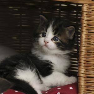котенок мейн кун Tom Sawyer Estate Pearls