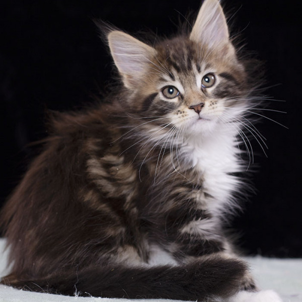 котенок мейн кун TOUAREG, окрас n 09 22