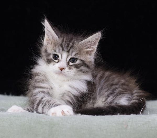 котенок мейн кун  UNIQUE из питомника  Estate Pearls