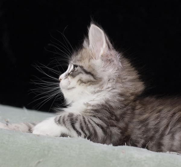 котенок мейн кун  UNIQUE из питомника  Estate Pearls  1,5месяца