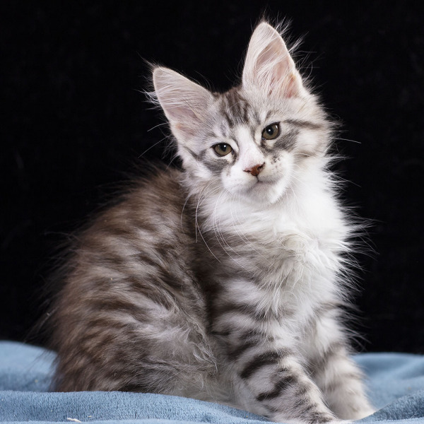 котенок мейн кун  UNIQUE из питомника  Estate Pearls  2 месяца